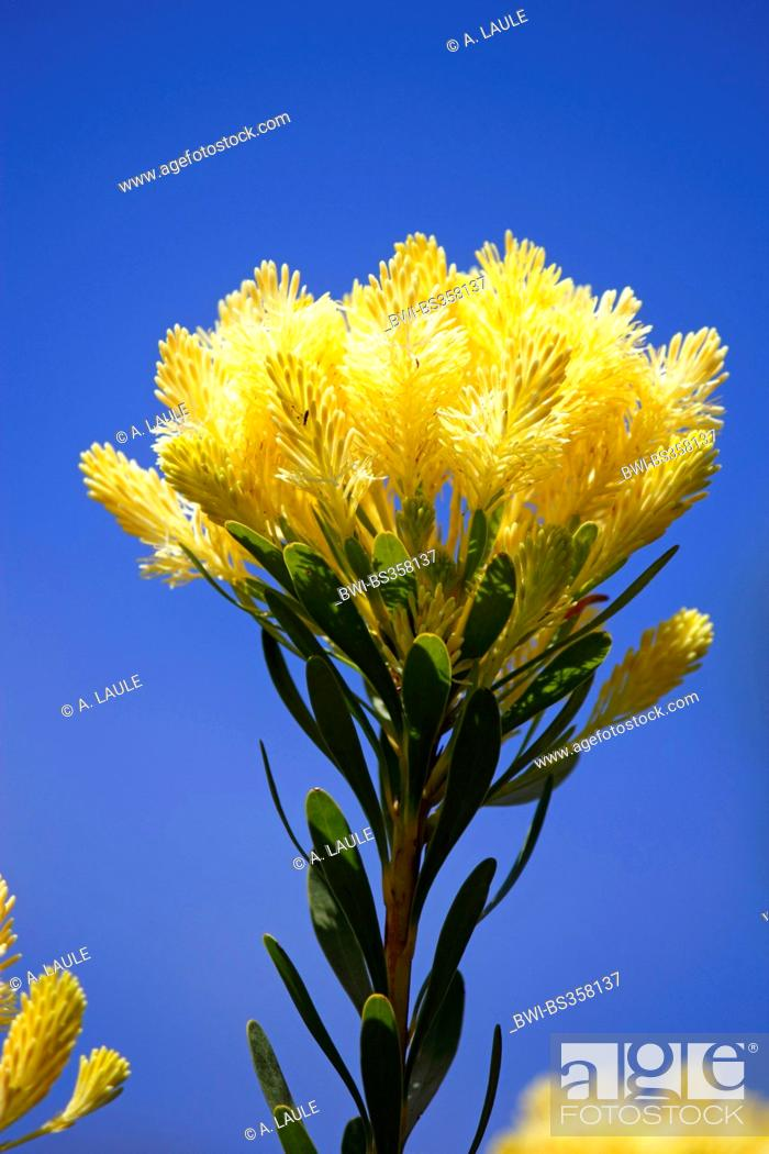 Stock Photo: Featherbush, Needle-leaf Featherbush (Aulax umbellata), inflorescence in front of the blue sky, South Africa.