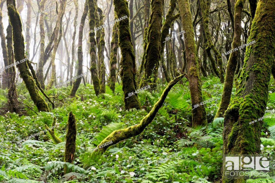 Photo de stock: Moss-covered trees in a laurel forest, Garajonay National Park, La Gomera, Canary Islands, Spain.