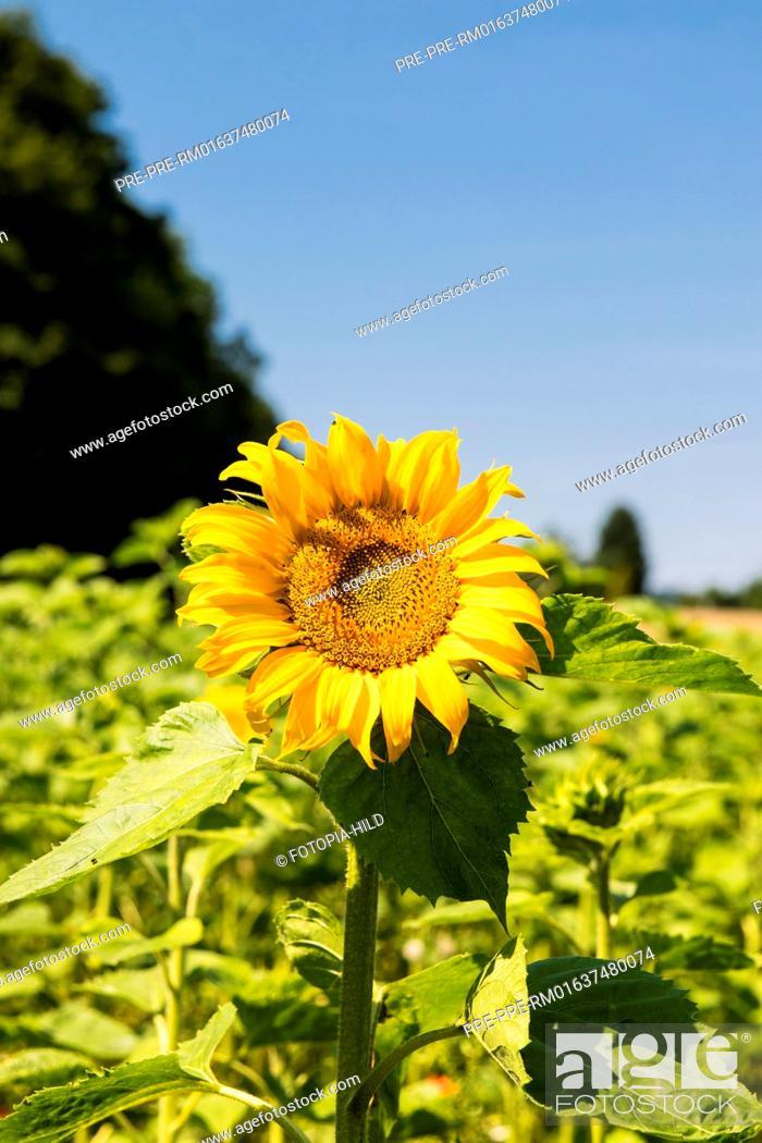 Stock Photo: Sunflowers at Feldmark near Dransfeld, Samtgemeinde Dransfeld, Göttingen District, Lower Saxony, Germany, summer 2017 / Sonnenblumenfeld in der Feldmark bei.