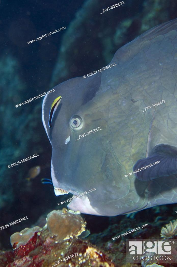Stock Photo: Bumphead Parrotfish (Bulbometopon muricatum) being cleaned by Bluestreak Cleaner Wrasse (Labroides dimidiatus), Liberty Wreck dive site, Tulamben, Bali.