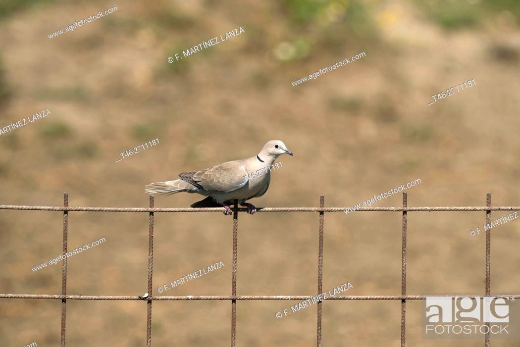 Stock Photo: Collared dove (Streptopelia decaocto). Arrocampo, Saucedilla, Caceres province, Extremadura, Spain.