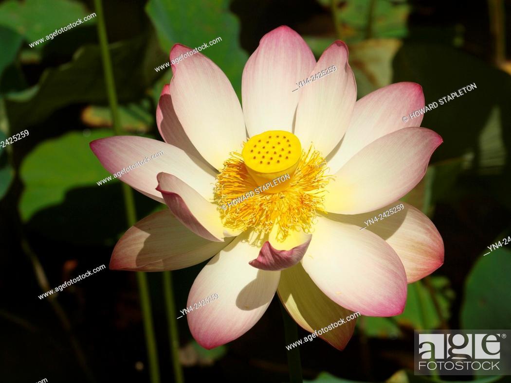 Lotus flower nelumbo nucifera in buddhism the lotus represents stock photo lotus flower nelumbo nucifera in buddhism the lotus represents fortune mightylinksfo