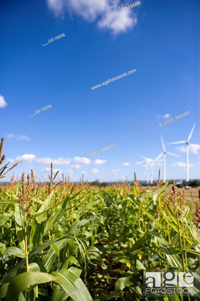 Stock Photo: Corn field and windmills.