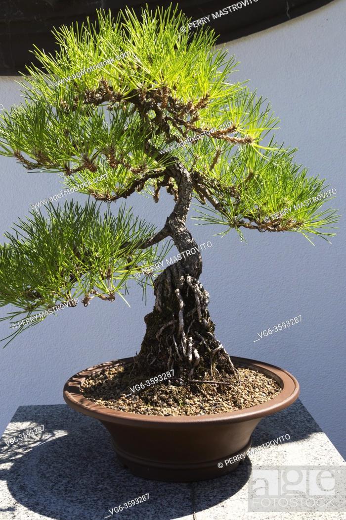 Photo de stock: 40 year old Pinus thunbergii - Japanese Black Pine bonsai tree in brown planter, Chinese Garden, Montreal Botanical Garden, Quebec, Canada.