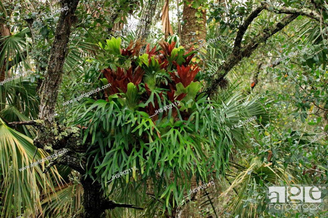 Stock Photo: Bromelia, Bromelia ssp, Corkscrew Sanctuary, Florida, USA, on tree.
