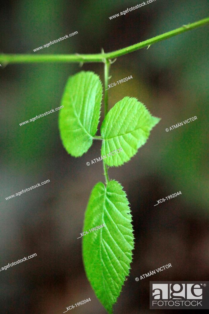 Stock Photo: Rubus ulmifolios - tree bunch with three leaves tenerife island.