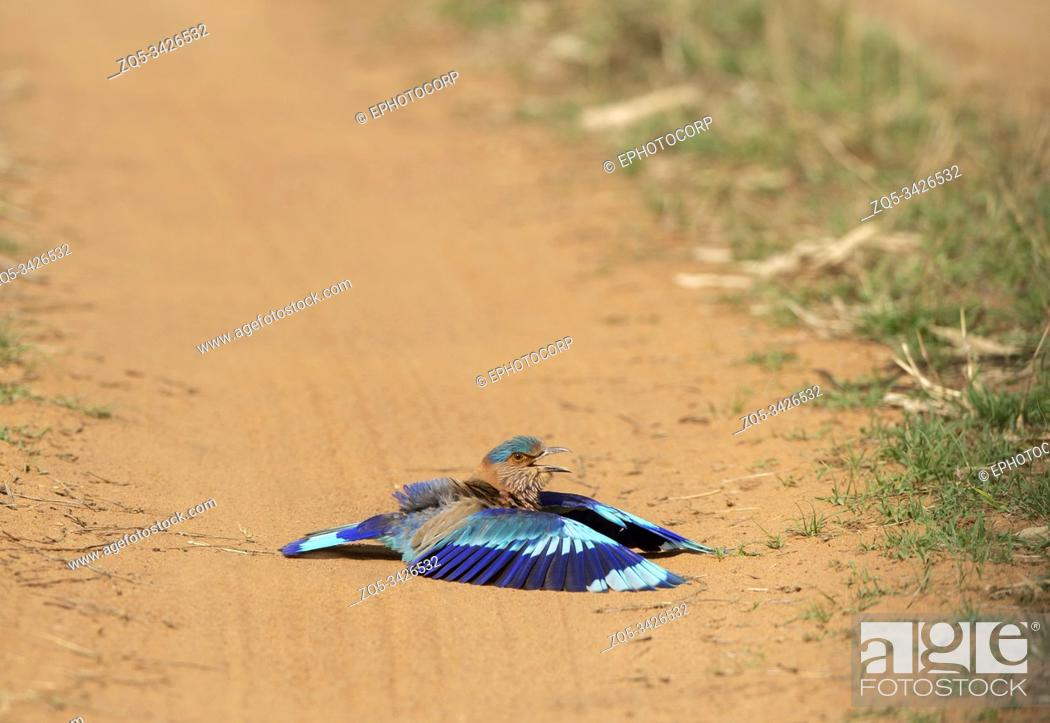 Stock Photo: Indian Roller doing Dustbath, Coracias benghalensis Tadoba, Maharashtra, India.