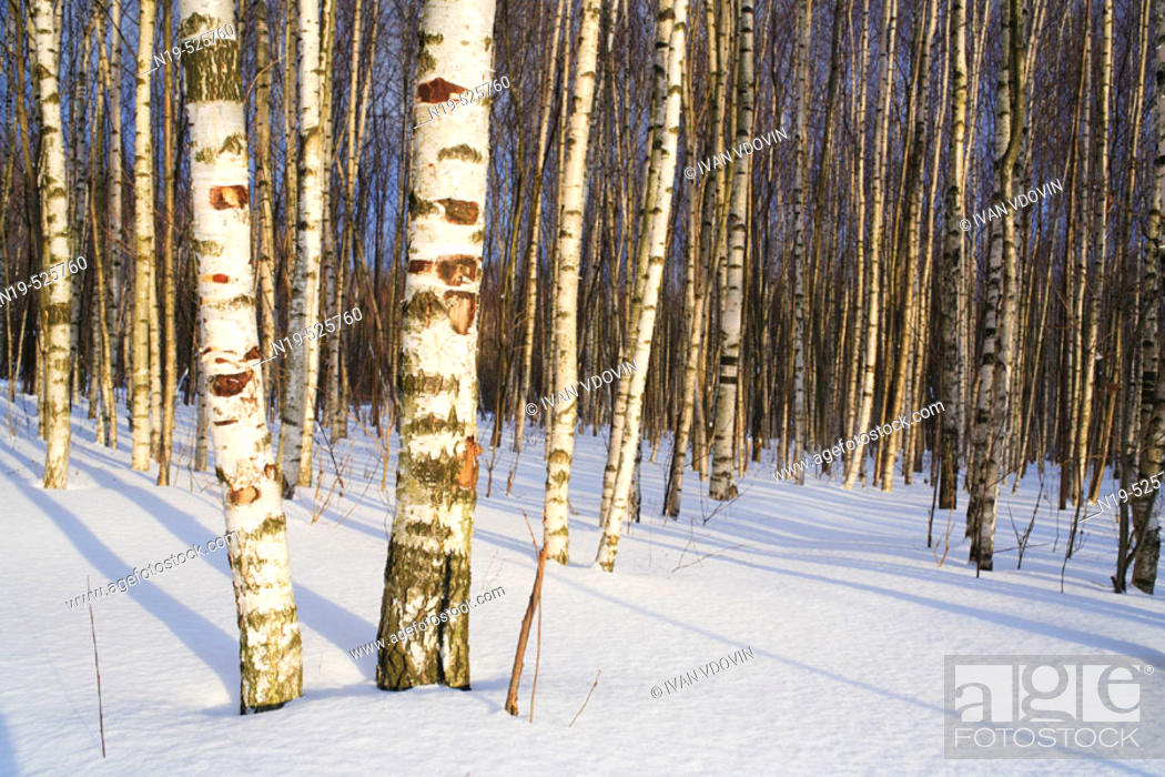 Stock Photo: Birch forest in sunny winter day, Russia.
