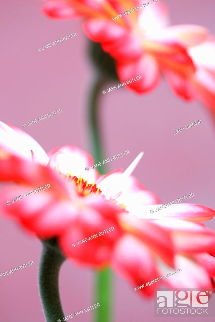 Stock Photo: beautiful still life of white and red tipped gerberas on purple.