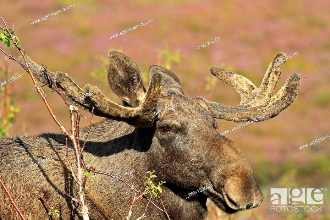 Stock Photo: Moose  Male  Alces alces Order: Artiodactyla Family : Cervidae.