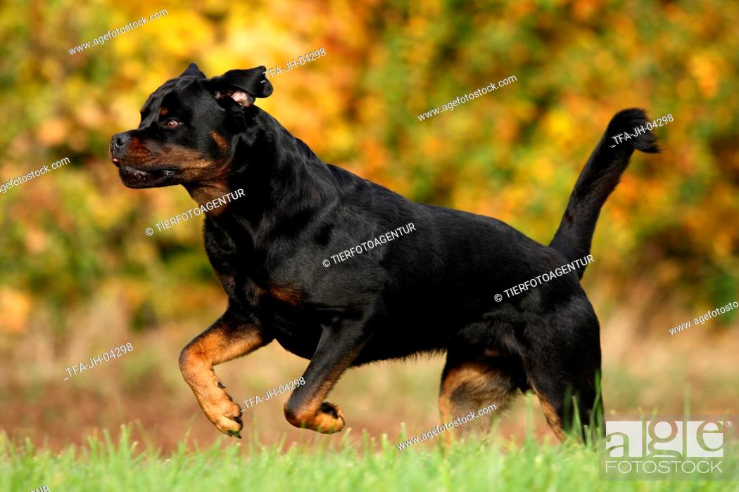 Running Rottweiler Stock Photo Picture And Rights Managed Image