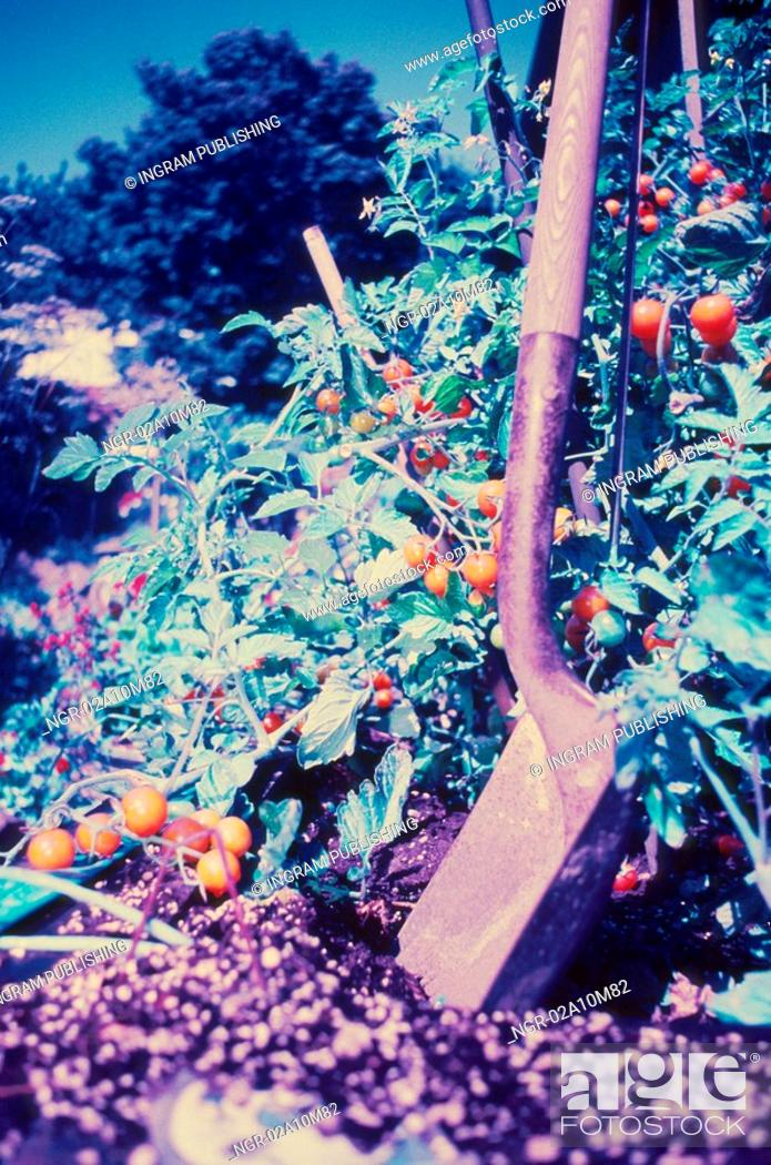 Stock Photo: Tomatoes on the Vine in Garden.