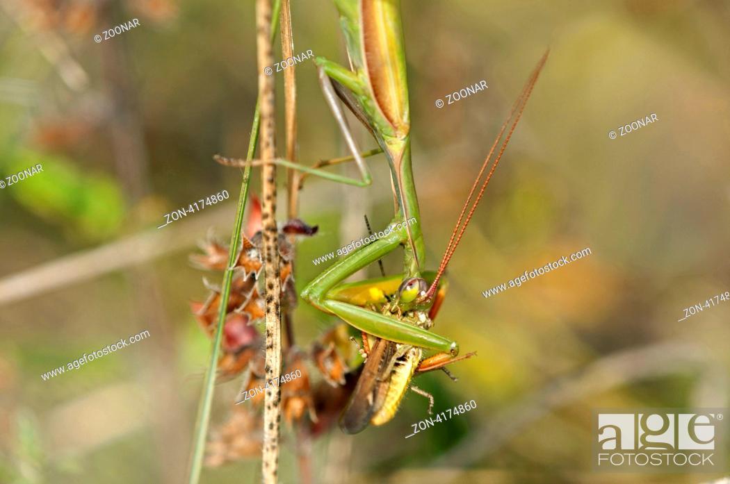 Europäische Gottesanbeterin Mantis religiosa mit Heuschrecke als