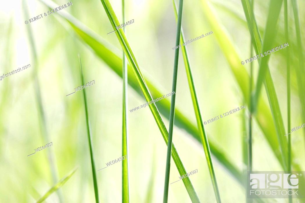 Stock Photo: Grasses in a garden, summer. Noraström, Höga Kusten, Västernorrlands län, Sweden, Scandinavia, Europe.