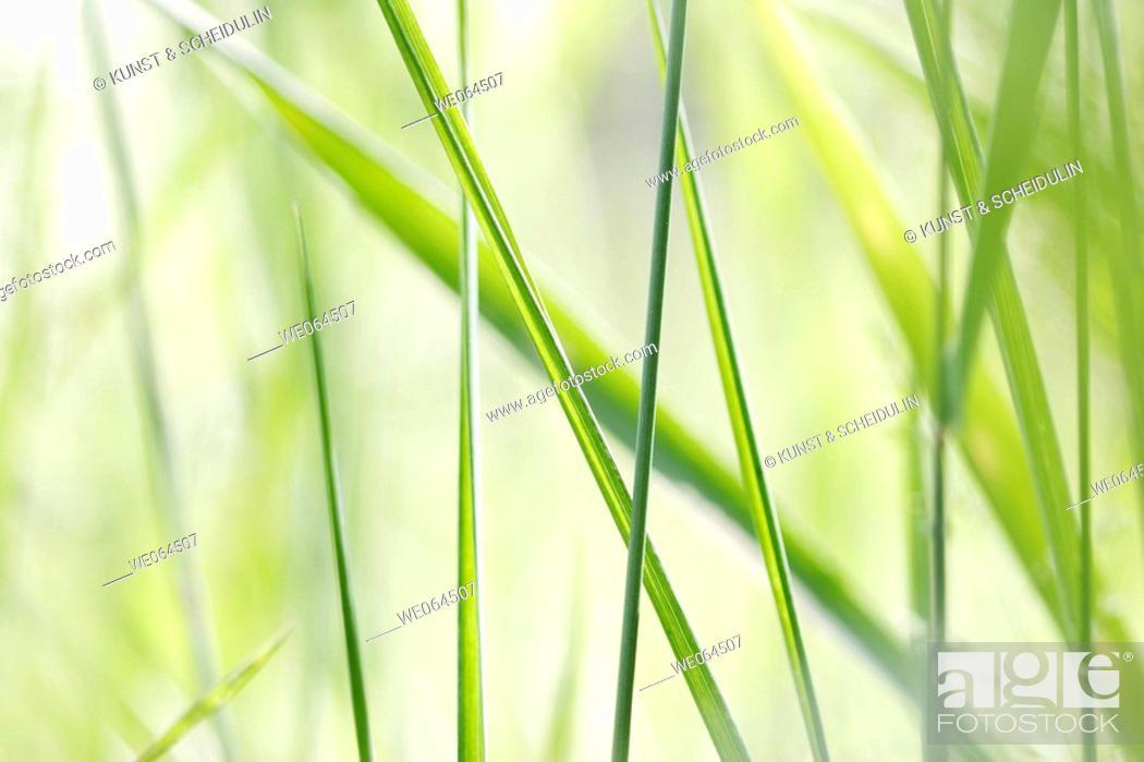 Stock Photo: Grasses in a garden, summer. Noraström, Höga Kusten, Västernorrlands län, Sweden, Scandinavia, Europe.