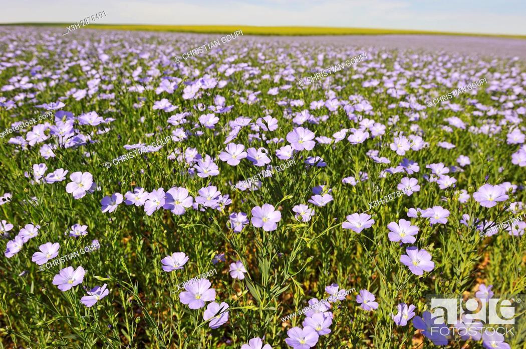 Imagen: flax field flowering, Centre-Val de Loire region, France, Europe.