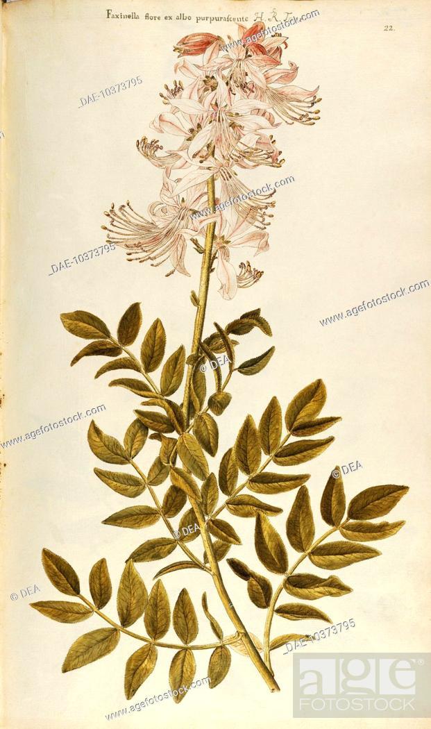 Stock Photo: Herbal, 18th-19th century. Iconographia Taurinensis. Volume III, Plate 22 by Francesco Peyrolery: Burning-bush or False Dittany (Dictamnus albus), Rutaceae.