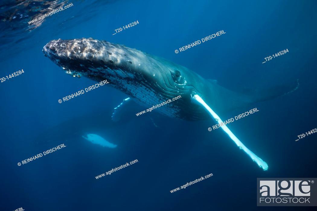 Stock Photo: Humpback Whale, Megaptera novaeangliae, Samana Peninsula, Dominican Republic.