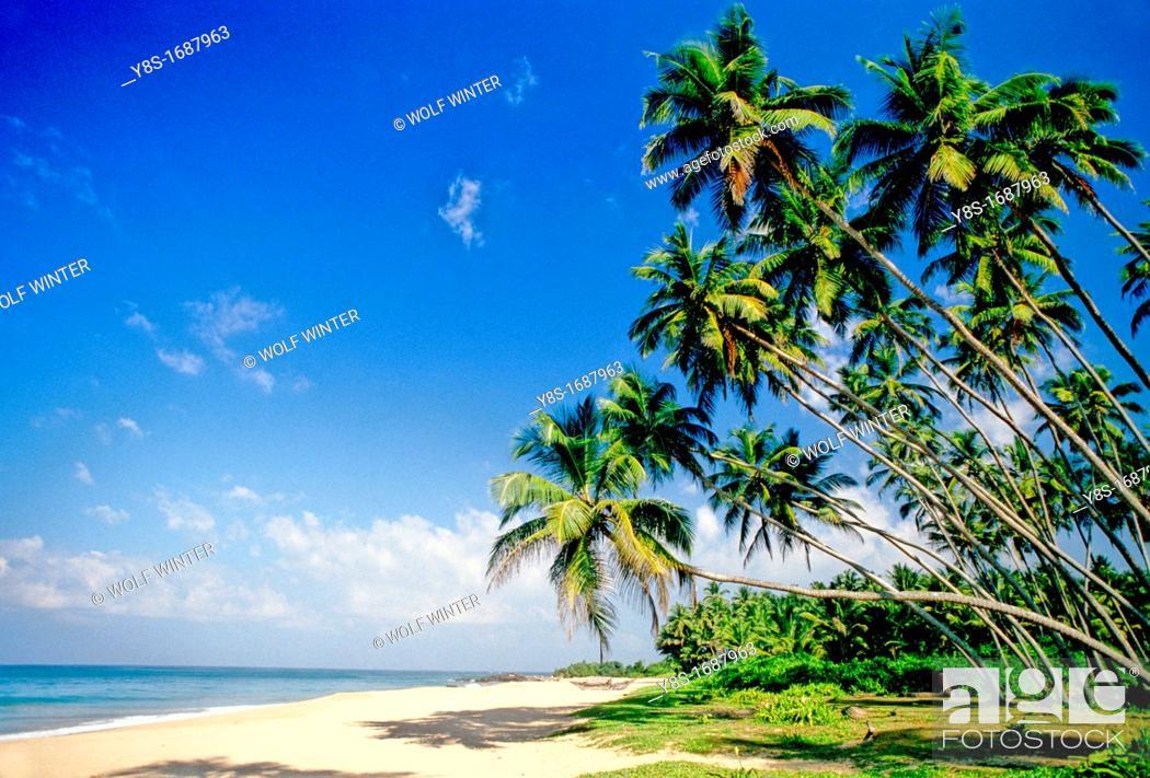 Stock Photo: Coconut Trees, West Coast.
