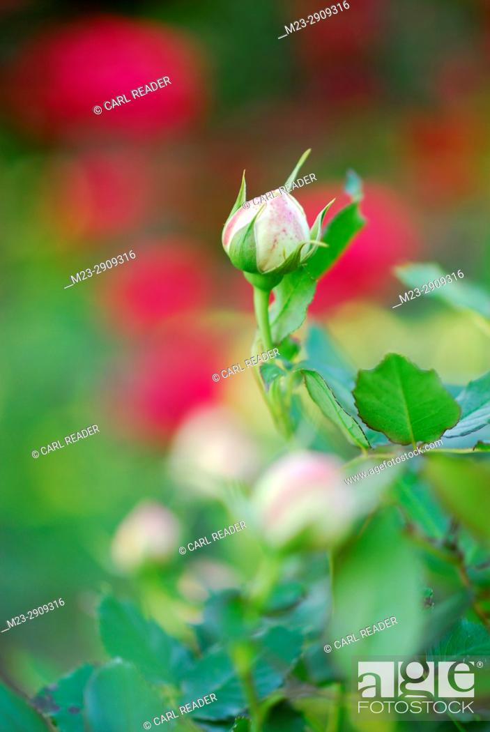 Stock Photo: A rose bud waits to open, Pennsylvania, USA.