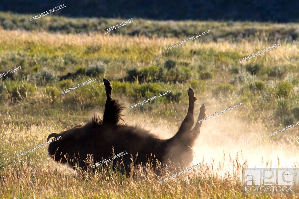 Stock Photo: Buffalo rolling on the ground.