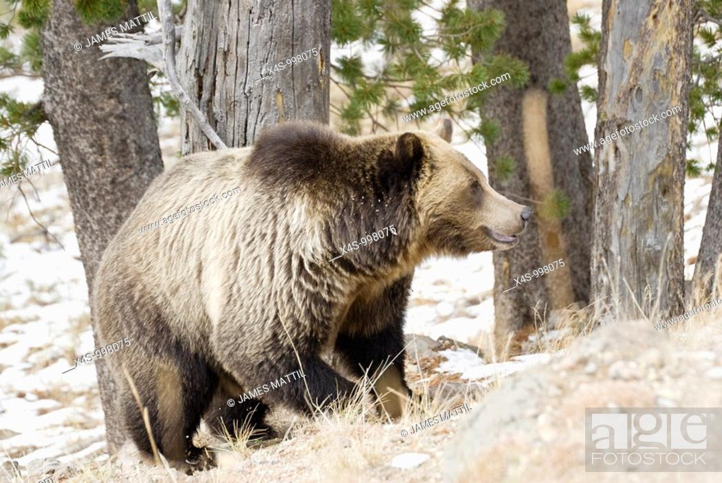 Stock Photo: A very large adult male grizzly hunts for Whitebark pine nuts after an autumn snowfall in Yellowstone Park.