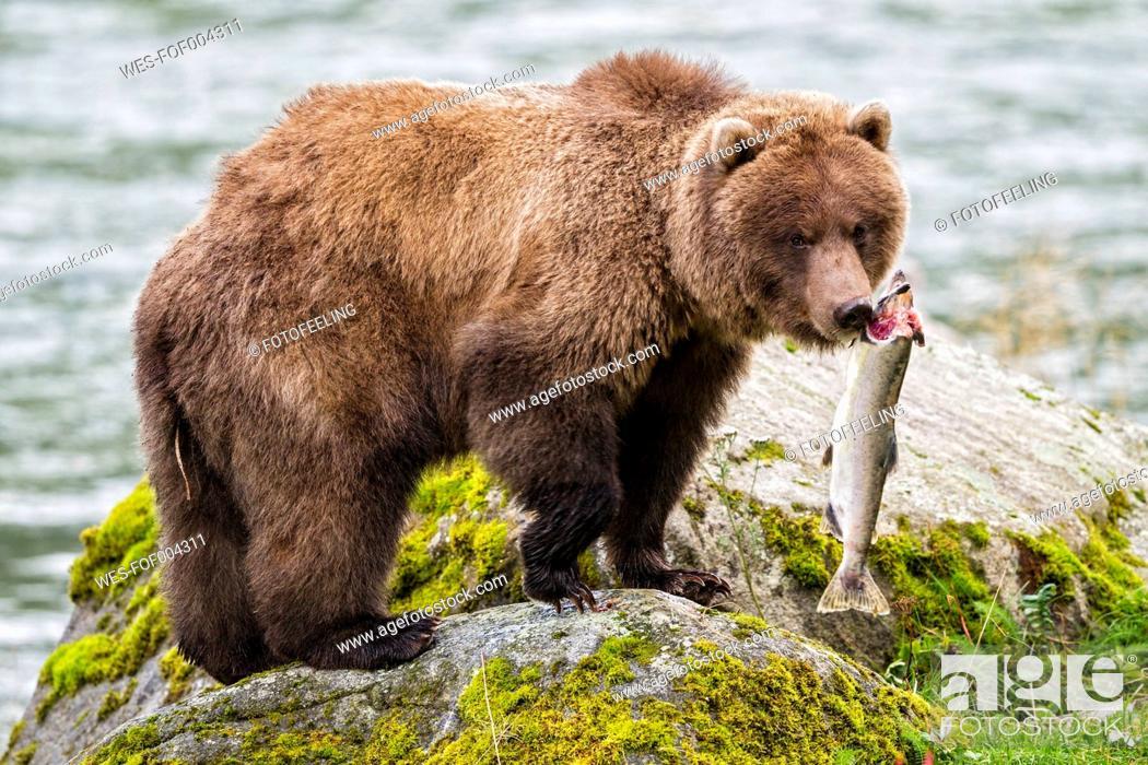 Stock Photo: USA, Alaska, Brown bear caught salmon at Chilkoot Lake.