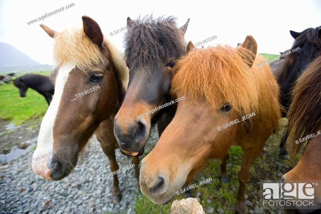 Stock Photo: Icelandic Horse.