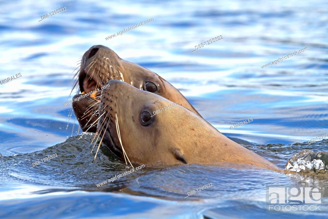 Stock Photo: Northern Sea Lion Eumetopias jubatus Order : carnivora family : Otariidae.