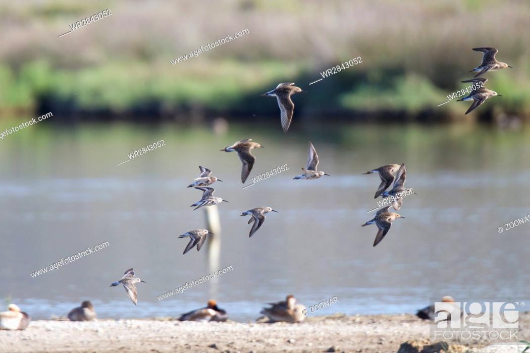 Stock Photo: curlew sandpiper.