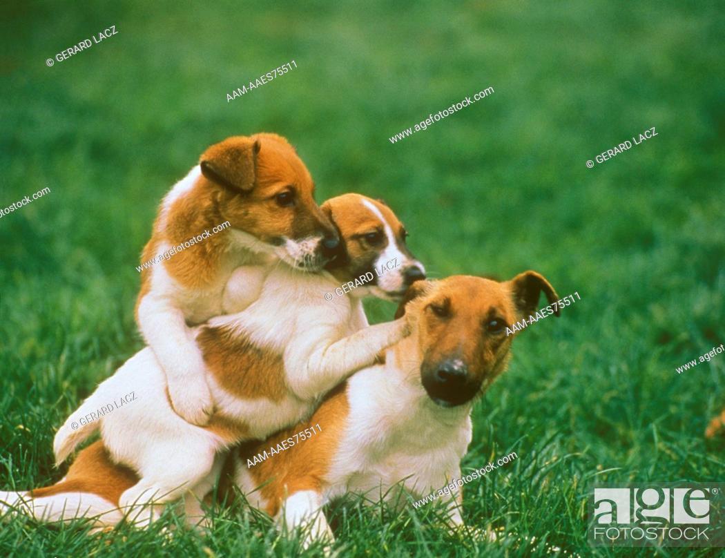 Stock Photo: Fox Terrier.