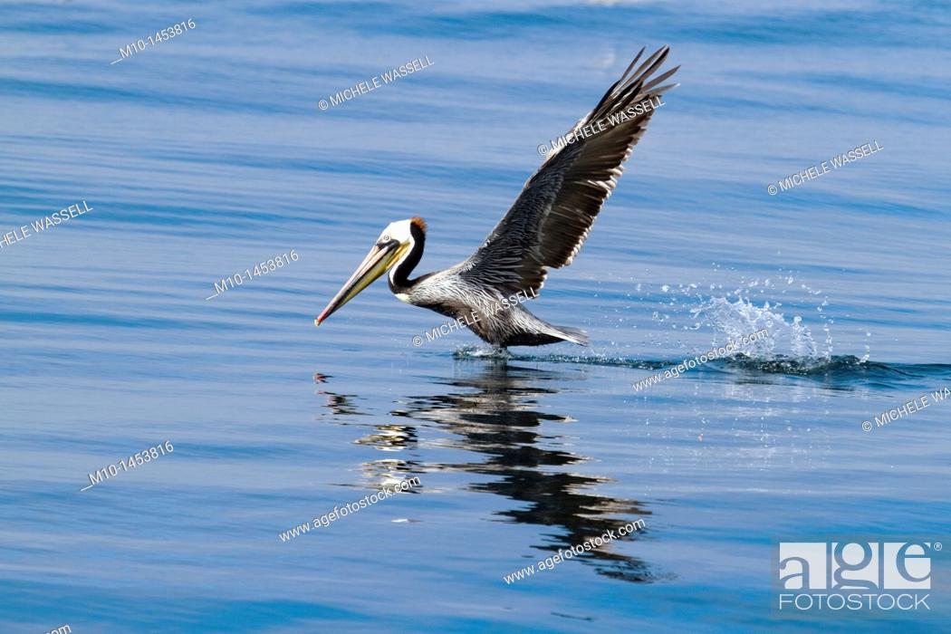 Stock Photo: California Brown Pelican taking off.