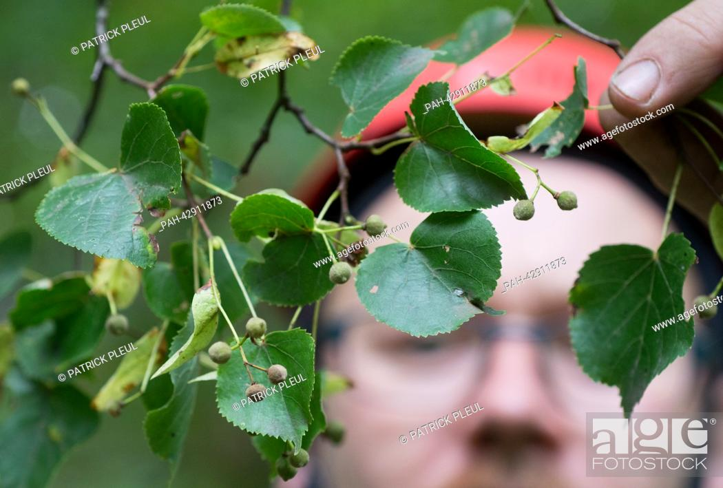 Stock Photo: Cone picker Stefan Teschke looks at seeds on a Small-leaved Lime (lat: Tilia cordata) in the city forest in Prenzlau, Germany, 23 September 2013.