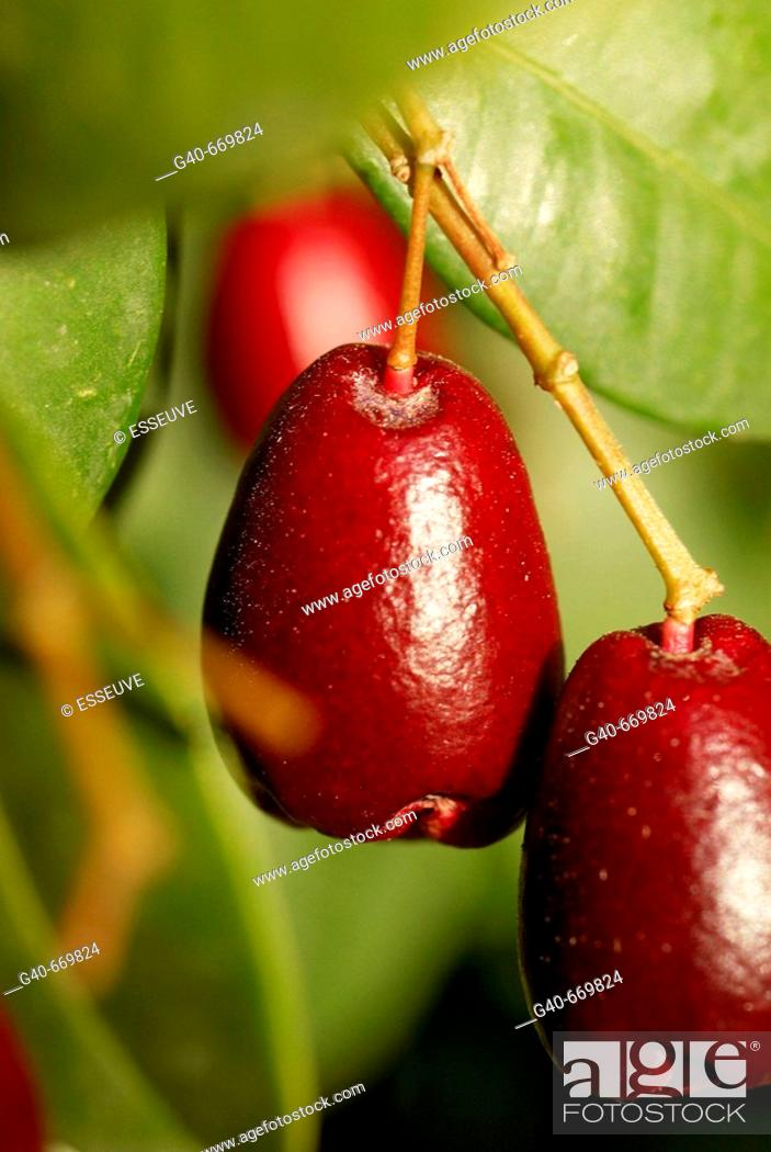 Stock Photo: Spotted Laurel (Japanese Aucuba).