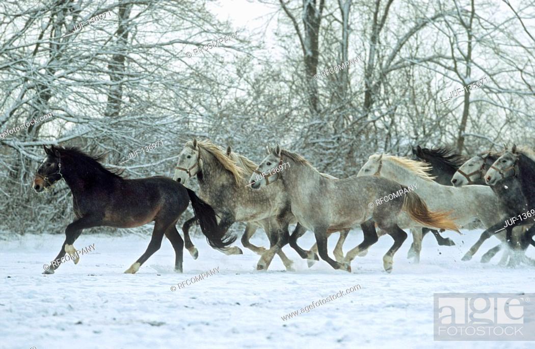 Stock Photo: Kladruber - herd in snow.