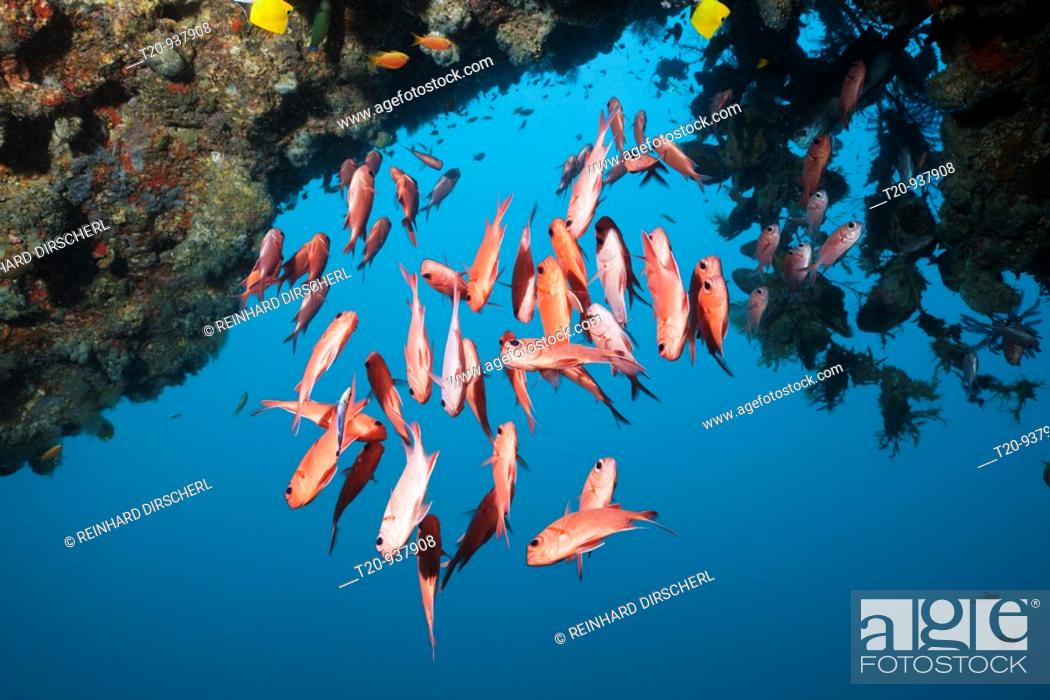 Photo de stock: Brick Soldierfish, Myripristis amaena, Ellaidhoo House Reef, North Ari Atoll, Maldives.