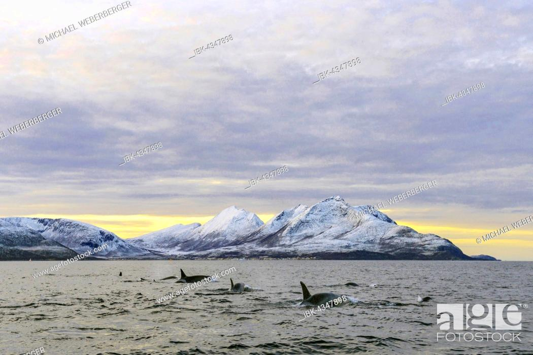Stock Photo: Several Orcas (Orcinus orca) in front of snowy mountains, group, North Atlantic, at Tromvik, Norway.