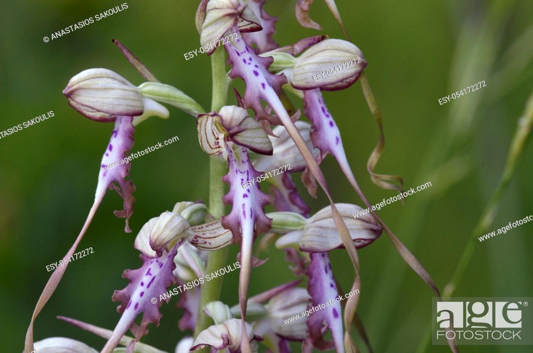 Stock Photo: A lizard orchid species Himantoglossum jankae, Greece.