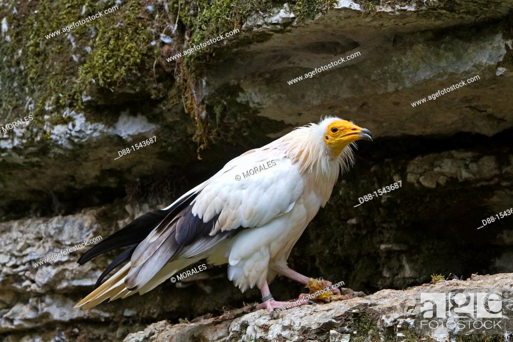 Stock Photo: France, Lot , Egyptian Vulture  Neophron percnopterus  , Order : Falconiformes , Family : Accipitridae.