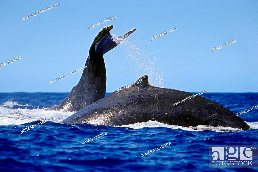 Stock Photo: Flukes of Humpback Whales, Megaptera novaeangliae, Pacific Ocean, Hawaii, USA.