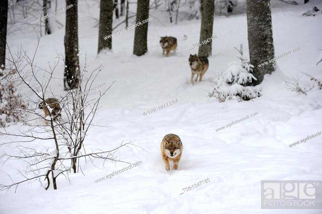 Stock Photo: European grey wolf in snow Canis lupus, captive  Bayerischerwald National Park, Germany.