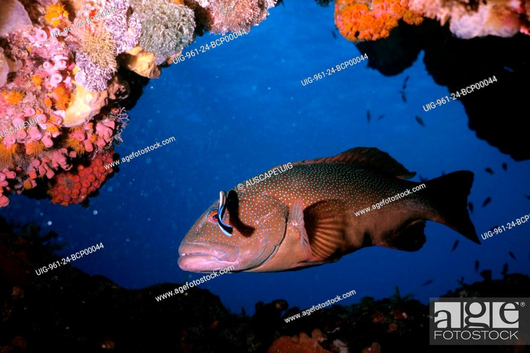 Stock Photo: Coral trout.