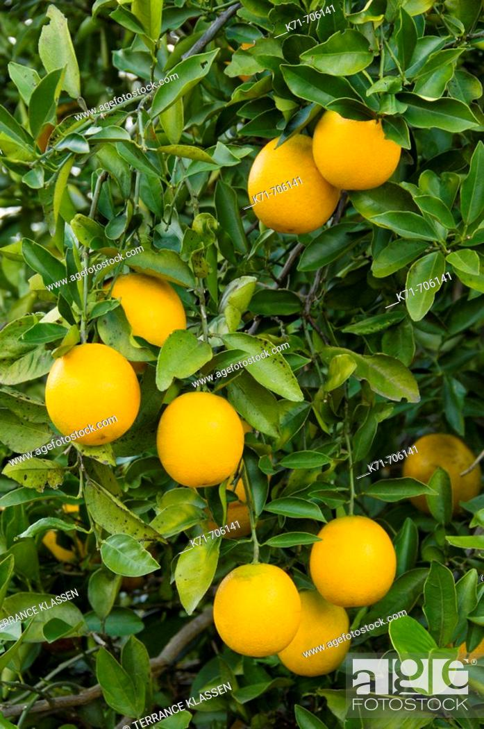 Closeup of oranges on the trees in an orchard near Haines