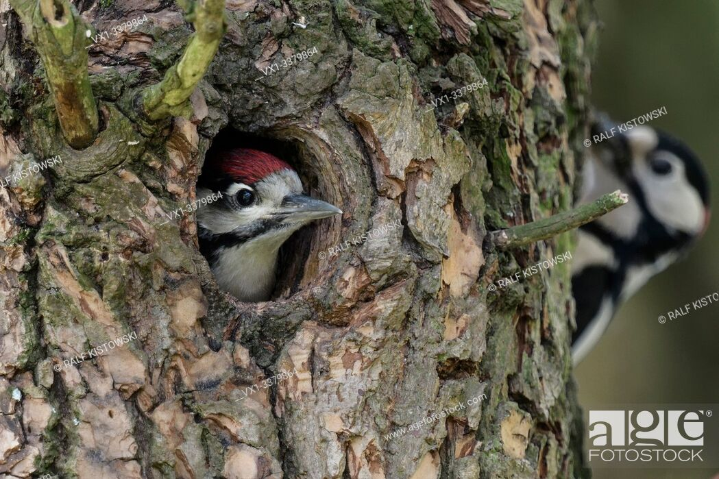 Stock Photo: Greater / Great Spotted Woodpecker / Buntspecht ( Dendrocopos major ) young in nest hole anticipating feeding male, Europe.