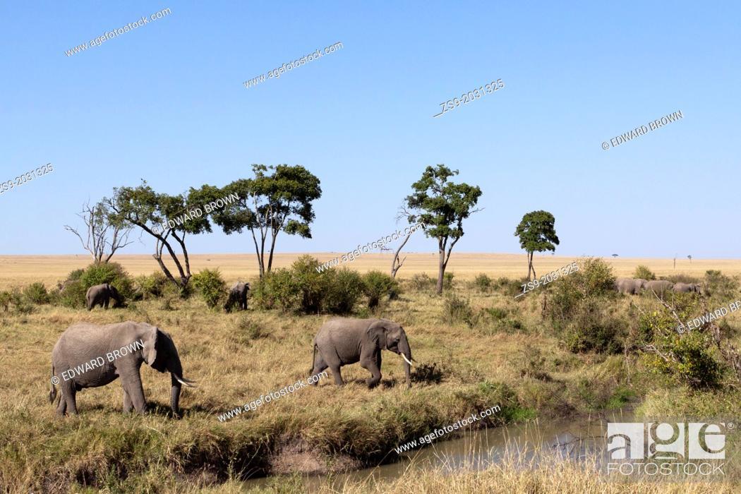 Stock Photo: A herd of African elephants (Loxodonta africana) at a watering hole, Masai Mara, Kenya.