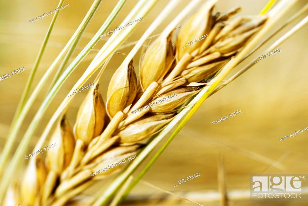 Stock Photo: Barley Ear.