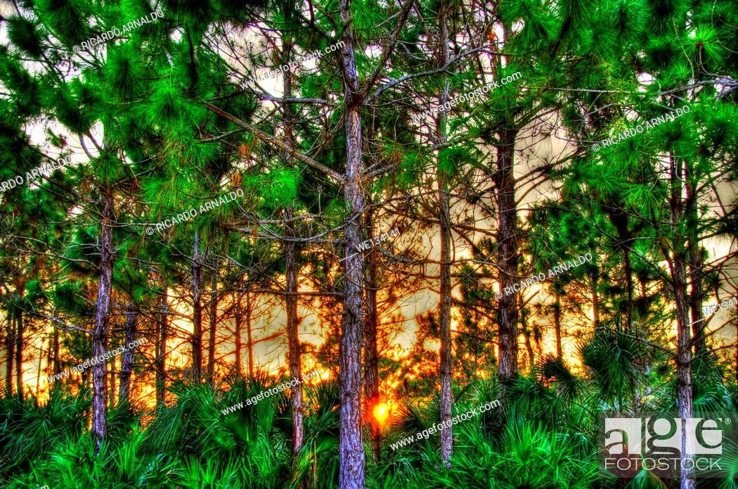Stock Photo: Sunset in a rocky pineland's protected forest, Redland, Florida.
