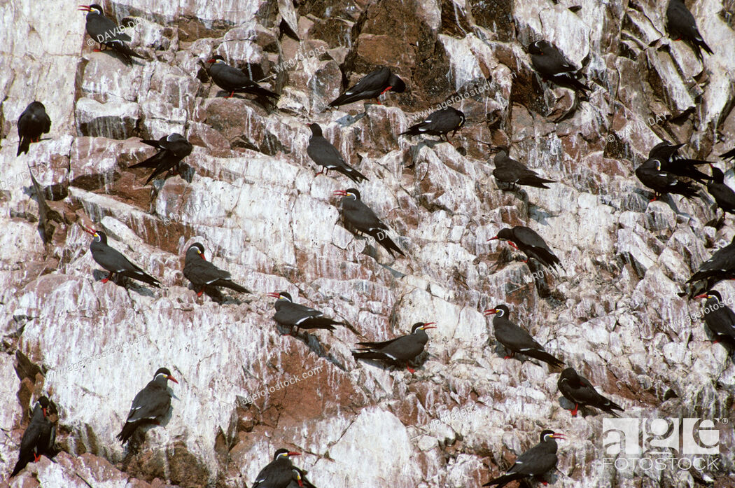 Imagen: Group of inca terns on the cliff of Ballesteros Islands Larosterna inca Ballestero Islands, Chile.