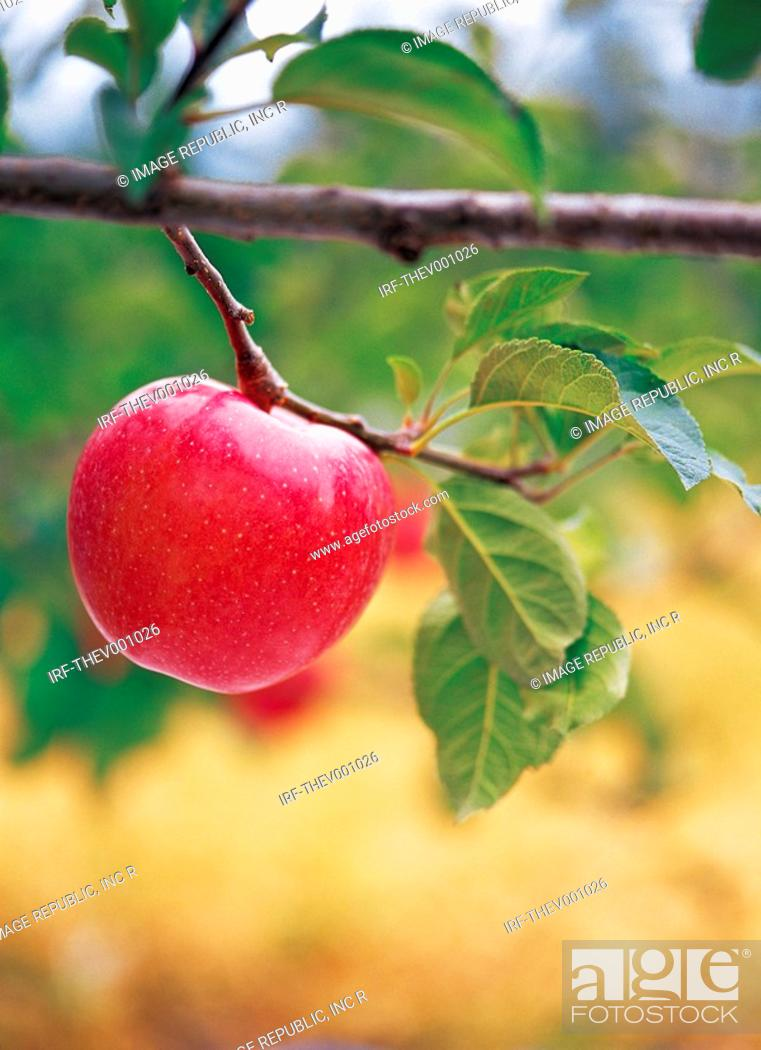 Stock Photo: apples at bough.