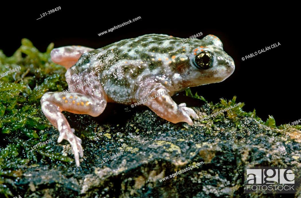 Stock Photo: Iberian Midwife Toad (Alytes cisternasii).